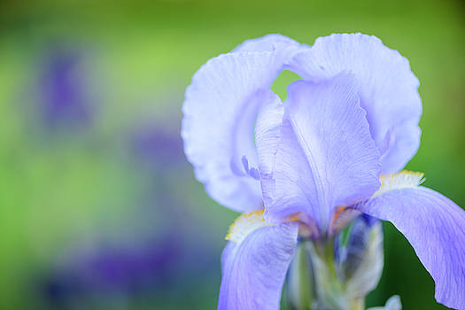 Pale Blue Iris by Oscar Gutierrez
