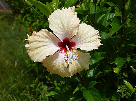 Pale Hibiscus by Pat Archer