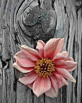 Patricia Strand - Pale Pink Flower on Wood