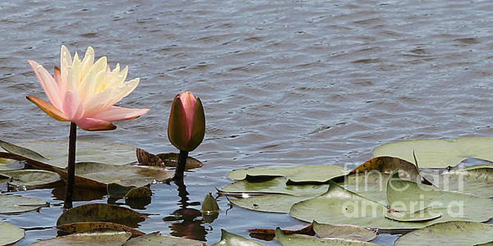Pale Pink Lily and Bud by Vivian Bound