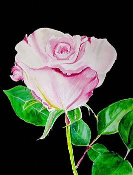 Pale Pink Rose  by Carol Blackhurst