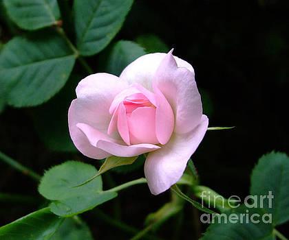 Pale Pink Rose by Julia Underwood