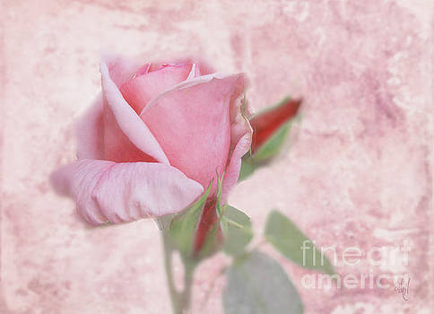 Pale Pink Rose by Victoria Harrington