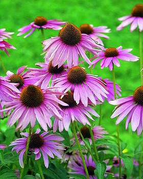 Marty Koch - Pale Purple Coneflowers