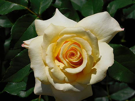 Pale Yellow Rose by Catherine Gagne