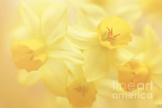 Palette of daffodils by LHJB Photography