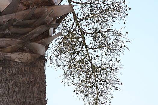 Jonathan Kotinek - Palm in Bloom