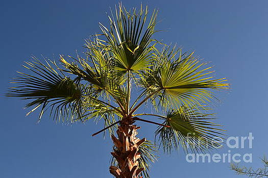 Palm Tree of Palm Springs CA by Karen Francis