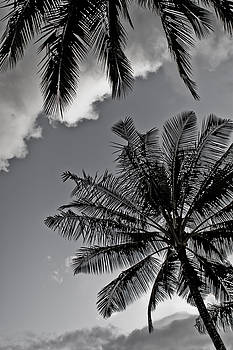 Palm Tree's Black and White by Lannie Boesiger