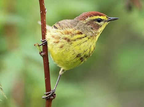 Palm Warbler Songbird New England Woods by Scott Leslie