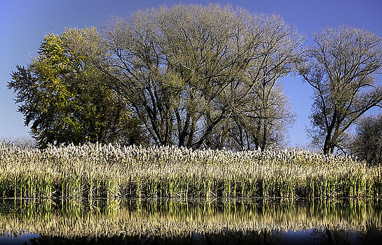 Pampas Grass at Riverside by Ray Summers Photography