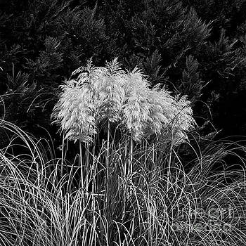 Pampas by Patrick M Lynch