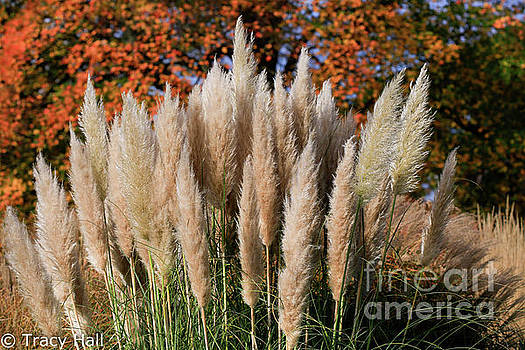 Pampas by Tracy Hall