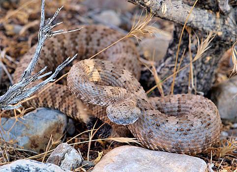Panamint Rattlesnake by Chris Morrison