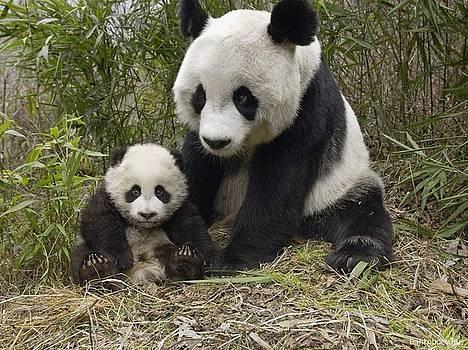 Panda by Jeffrey Crum