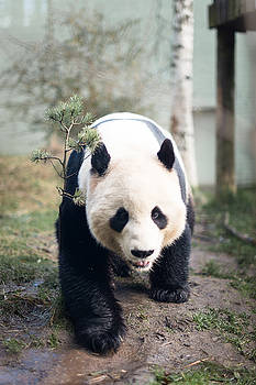 Panda by Pedro Nunez