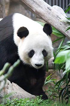 Panda by Yekaterina Grigoryeva