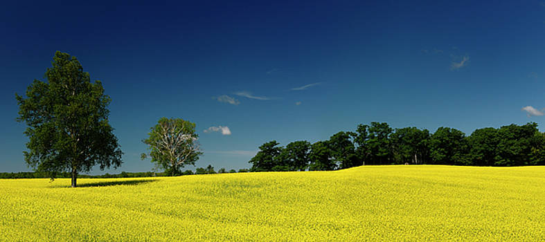 Reimar Gaertner - Panorama of yellow rapeseed crop with trees and blue sky