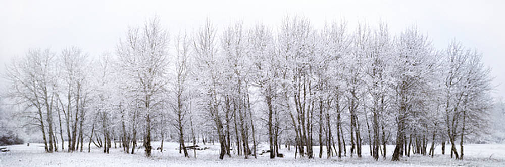 Panoramic Winter Aspens by Tom Cuccio