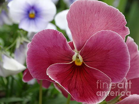 Pansies in Spring by Rebecca Overton