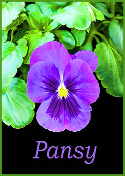 Pansy by Cathy Kovarik
