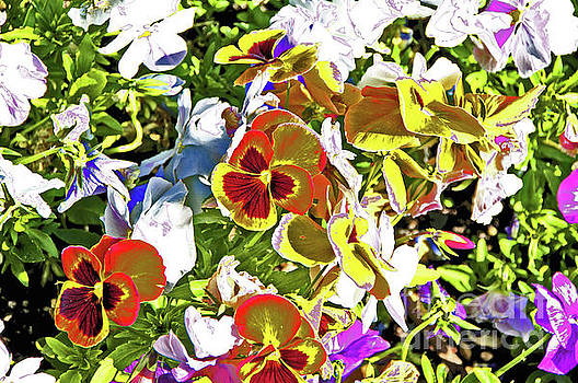 Pansy  by David Frederick