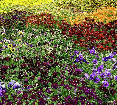 Frank Tschakert - Pansy Garden