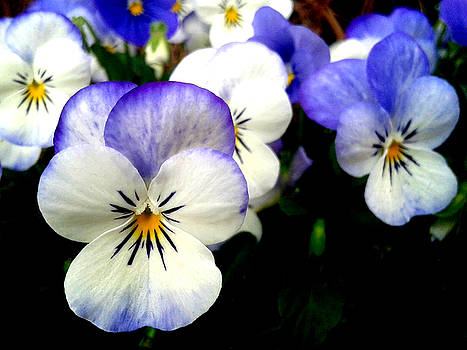 Pansy Spring Awakening In New Orleans by Michael Hoard