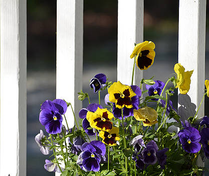 Pansy's by Charles Bacon Jr