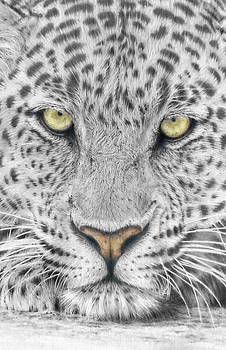 Panthera Pardus - Leopard close-up by Steven Paul Carlson