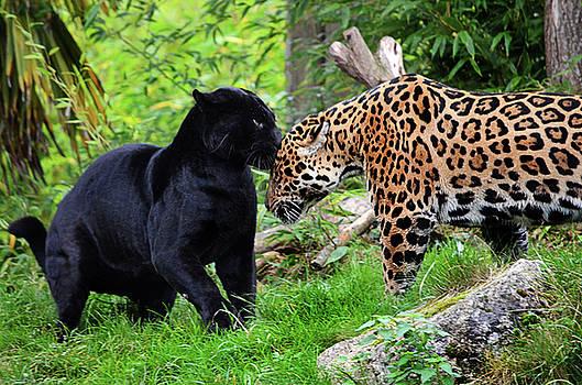 Spade Photo - Panther
