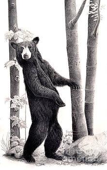Paparazzi  Black Bear in the Beechnut Grove by Susan Fraser SCA  B Sc