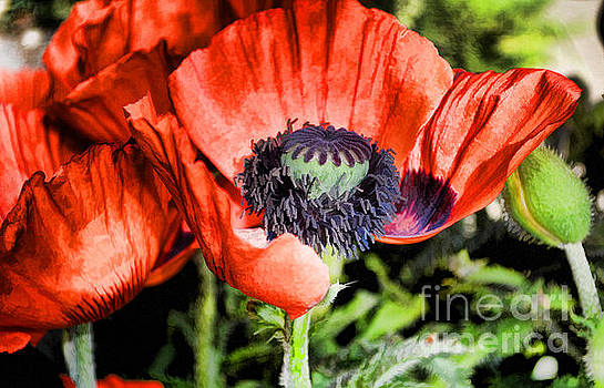 Papaver by Skye Ryan-Evans