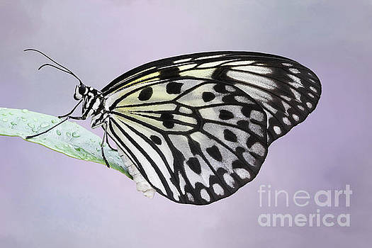 Paper Kite Butterfly #2 V2 by Judy Whitton