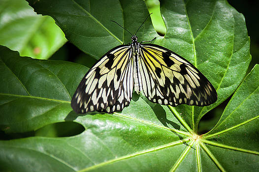 Paper Kite Butterfly by Chad Davis