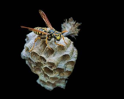 Nikolyn McDonald - Paper Wasp - Nest - Lateral View