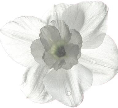 Angela Davies - Paper White Narcissus