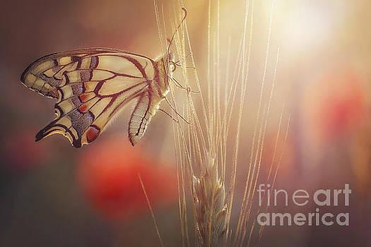 Papilio machaon, the Old World swallowtail by Marek Mierzejewski
