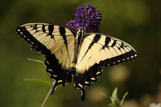 Papilio Yellow by Randy Bodkins