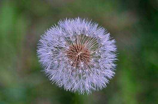 Parachute Club- Dandelion Gone to Seed by David Porteus