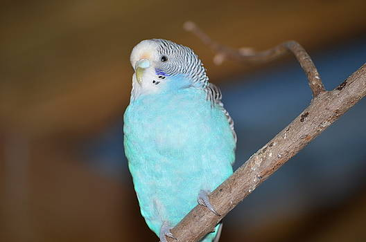 Parakeet by Linda Geiger