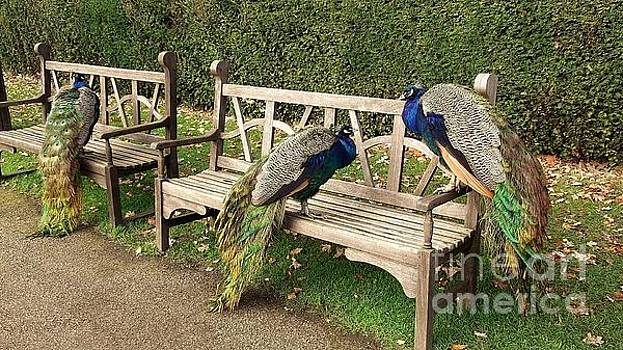 Park bench Peacocks by John Williams