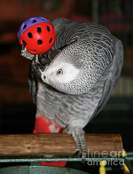 Jill Lang - Parrot Playing with a Toy