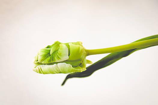 Parrot Tulip by Amanda Adkisson