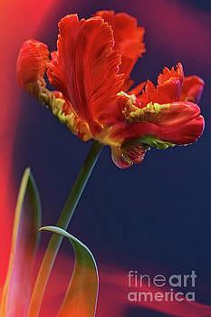 Heiko Koehrer-Wagner - Parrot Tulip - Feathered Petals