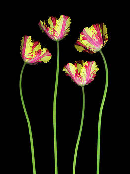 Christopher Gruver - Parrot Tulip Group