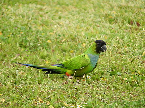 Parroting Green by Red Cross