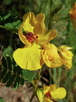 Scott Kingery - Partridge Pea