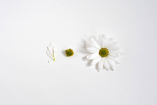 Parts of a Shasta Daisy by Di Kerpan