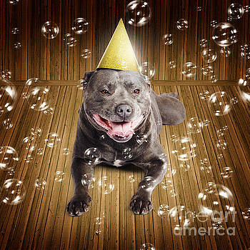 Partytime for a staffie birthday dog by Jorgo Photography - Wall Art Gallery